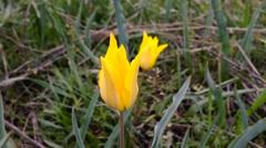 Yellow wild tulips Stock Footage