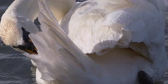 Slow Motion - White Swan preens tail feathers, close up Stock Footage