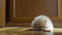 Spitz puppy playing with a bone at home Stock Footage