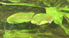 Perennial plant Water lily yellow, common in freshwater ponds and rivers of cent Stock Footage
