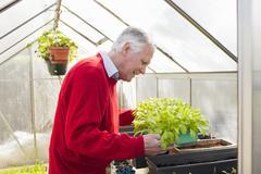 Senior man tending to plants in greenhouse - stock photo