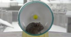 Grey dwarf hamster running on a small hamster wheel Stock Footage