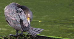 Slow Motion - Cormorant Preening Feathers Stock Footage
