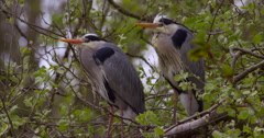 Slow Motion - Heron pair keep vigil in branches Stock Footage