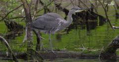 Slow Motion - Grey Heron walks along submerged branch, Mallard passes - stock footage