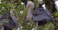 Slow Motion - Heron mates preen in tree Stock Footage