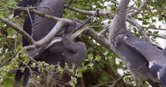 Slow Motion - Juvenile Herons battle for dominance in the nest Stock Footage