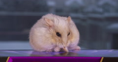 Beige dwarf hamster cleaning and grooming herself Stock Footage