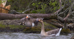 Slow Motion - Two Geese startled, fly off, paddling water Stock Footage