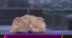 Hamster Jumps down from ledge, cute fluffy tail. Stock Footage