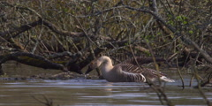 Greylag Goose dunks head in water repeatedly - Slow Motion Stock Footage