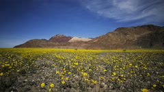 Time Lapse of Wildflower Super Bloom in Death Valley -Zoom In- Stock Footage
