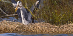 Grey Heron dives into lake and catches fish Stock Footage