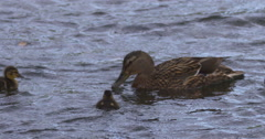 Slow Motion - Mallard Duck and ducklings on choppy lake water Stock Footage