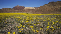 Time Lapse of Wildflower Super Bloom in Death Valley -Zoom Out- Stock Footage