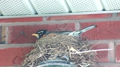 Robin in nest facing left Stock Footage