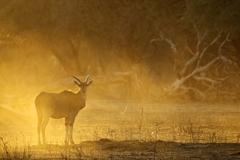 Eland (Taurotragus oryx) at dawn, Mana Pools national park, Zimbabwe, Africa Stock Photos