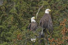 Two Bald Eagles in a Spruce Tree Stock Photos