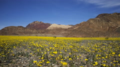 Time Lapse of Wildflower Super Bloom in Death Valley -Long Shot- Stock Footage