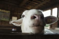 Goat in pen being inquisitive - stock photo