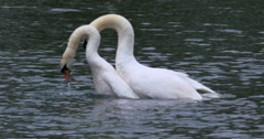 Swan Mating Ritual, syncronised neck and head Stock Footage