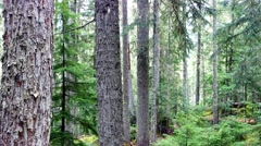 Tall conifers in misty forest - stock footage