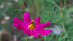 Bumblebee on cosmos flower Stock Footage