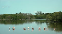 Flamingos in Cuba Keys - stock footage