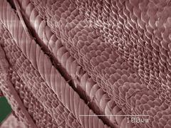 Coloured SEM of swallowtail butterfly - stock photo