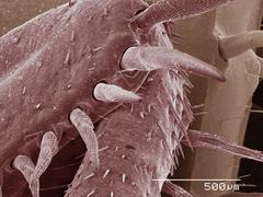 Coloured SEM of American cockroach leg - stock photo