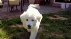 White fluffy pup follows camera - stock footage