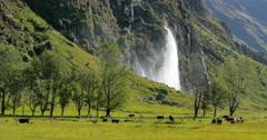 Cattle grazing in field near mountain range Stock Footage