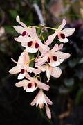 White orchids with pink Stock Photos