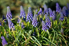 Muscari Armenian Stock Photos