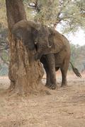 African elephant - Loxodonta africana - bull, after mud bath,  Mana Pools Stock Photos