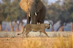 Lioness - Panthera leo - walking past African elephant bull - Loxodonta Stock Photos