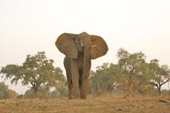 African elephant - Loxodonta africana Stock Photos