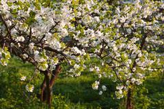 blooming plum garden at sunset - stock photo