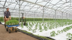Farmer in greenhouse pushing cart with tomato plants - stock footage