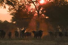 African buffalo - Syncerus caffer - at sunset, Mana Pools National Park, Stock Photos