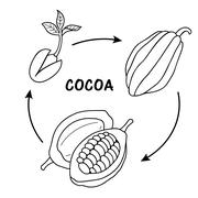 The life cycle of cocoa. - stock illustration