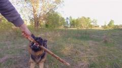 Man playing with german shepherd dog. Stick. Steadicam shot. Stock Footage