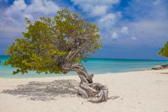 Crooked tree on Palm Beach, Aruba, Lesser Antilles, Caribbean Stock Photos