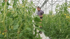 Agricultural engineer in greenhouse checking tomato plants Stock Footage