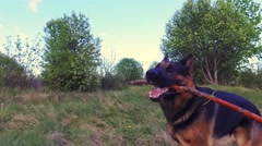 Dog running with stick in mouth. Close up. Steadicam shot. Stock Footage