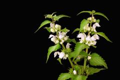 Blooming nettle with white blossoms - stock photo