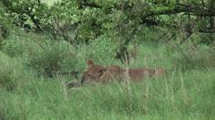 Lion wild dangerous mammal africa savannah Kenya Stock Footage