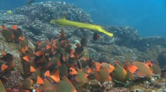 Fantastic diving off Socorro island in the Pacific ocean near Mexico. Stock Footage