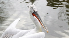Pelican flapping its wings and looking around Stock Footage