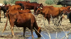 Herd Of Cows On Watering Place Stock Footage